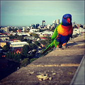 My friend the rainbow lorikeet come to hit me up for some sunflower kernels. Luv em.  - DOUG MENADUE :: BESPOKE GEMS :: Finest Precision Custom Gemcutting Based In Sydney Australia - WWW.BESPOKE-GEMS.COM